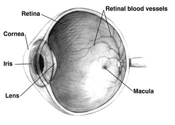 Macula er den delen av netthinnen som styrer skarpsynet. Blir den forstyrret kan det gi tåkesyn.